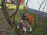 Собаки, щенки Гладкошерстный фокстерьер, цена 200 Грн., Фото