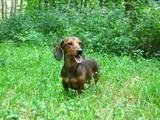 Собаки, щенята Гладкошерста мініатюрна такса, ціна 19555 Грн., Фото