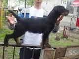 Собаки, щенки Ягдтерьер, цена 8500 Грн., Фото