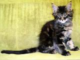 Кошки, котята Мэйн-кун, цена 9000 Грн., Фото
