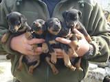 Собаки, щенки Ягдтерьер, цена 2800 Грн., Фото