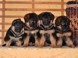 Собаки, щенки Немецкая овчарка, цена 4000 Грн., Фото