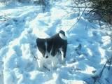 Собаки, щенки Русско-Европейская лайка, цена 100 Грн., Фото