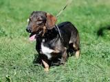 Собаки, щенки Гладкошерстная такса, цена 10 Грн., Фото
