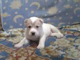 Собаки, щенки Среднеазиатская овчарка, цена 8000 Грн., Фото