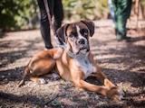 Собаки, щенята Боксер, ціна 8500 Грн., Фото
