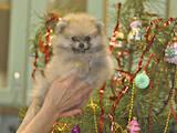 Собаки, щенки Померанский шпиц, цена 20000 Грн., Фото