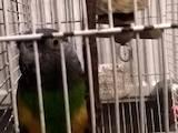 Папуги й птахи Папуги, ціна 2250 Грн., Фото