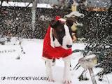Собаки, щенки Бультерьер, цена 22000 Грн., Фото