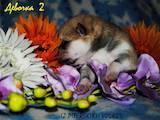 Собаки, щенята Акіта-іну, ціна 10000 Грн., Фото