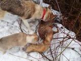 Собаки, щенки Западно-Сибирская лайка, цена 1700 Грн., Фото