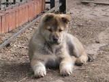 Собаки, щенята Західно-Сибірська лайка, ціна 1800 Грн., Фото