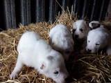 Собаки, щенки Среднеазиатская овчарка, цена 1500 Грн., Фото