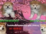 Собаки, щенята Акіта-іну, ціна 30000 Грн., Фото
