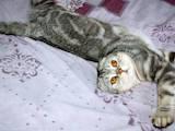 Кошки, котята Шотландская вислоухая, цена 2300 Грн., Фото