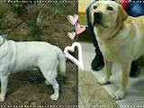Собаки, щенята Лабрадор ретрівер, ціна 9600 Грн., Фото