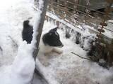 Собаки, щенки Русско-Европейская лайка, цена 300 Грн., Фото
