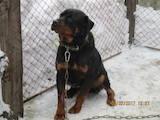 Собаки, щенята Ротвейлер, ціна 4000 Грн., Фото