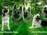 Собаки, щенки Восточно-Европейская овчарка, цена 9500 Грн., Фото