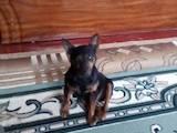 Собаки, щенки Карликовый пинчер, цена 2900 Грн., Фото