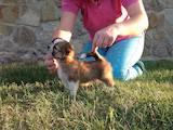 Собаки, щенки Чихуа-хуа, цена 10888 Грн., Фото