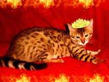 Кошки, котята Бенгальская, цена 4000 Грн., Фото