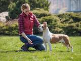 Собаки, щенята Американський стаффордширський тер'єр, ціна 2500 Грн., Фото