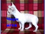 Собаки, щенки Чихуа-хуа, цена 8500 Грн., Фото