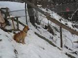 Собаки, щенки Западно-Сибирская лайка, цена 270 Грн., Фото