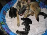 Собаки, щенки Немецкая овчарка, цена 1000 Грн., Фото