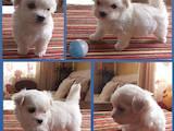 Собаки, щенята Мальтійська болонка, ціна 20000 Грн., Фото