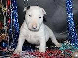 Собаки, щенята Бультер'єр, ціна 4000 Грн., Фото