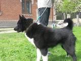 Собаки, щенята Російсько-Європейська лайка, ціна 400 Грн., Фото