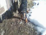 Собаки, щенки Ягдтерьер, цена 750 Грн., Фото