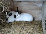 Гризуни Кролики, ціна 200 Грн., Фото