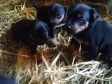 Собаки, щенята Ягдтер'єр, ціна 1400 Грн., Фото