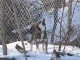 Собаки, щенки Русско-Европейская лайка, цена 4200 Грн., Фото