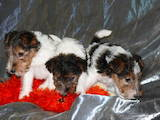 Собаки, щенки Жесткошерстный фокстерьер, цена 1200 Грн., Фото
