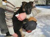 Собаки, щенки Немецкая овчарка, цена 2750 Грн., Фото