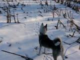 Собаки, щенки Западно-Сибирская лайка, цена 10000 Грн., Фото