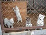 Собаки, щенки Западно-Сибирская лайка, цена 2300 Грн., Фото