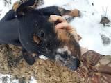 Собаки, щенки Ягдтерьер, цена 4500 Грн., Фото