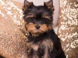 Собаки, щенки Йоркширский терьер, цена 50000 Грн., Фото