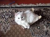 Кішки, кошенята Британська довгошерста, ціна 5 Грн., Фото