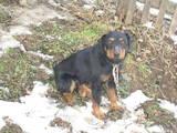 Собаки, щенки Ягдтерьер, цена 2200 Грн., Фото