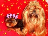 Собаки, щенки Йоркширский терьер, цена 5000 Грн., Фото