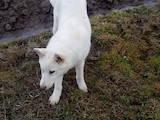 Собаки, щенята Західно-Сибірська лайка, ціна 1600 Грн., Фото