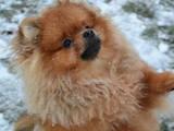 Собаки, щенки Померанский шпиц, цена 35000 Грн., Фото