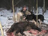 Собаки, щенята Східно-сибірська лайка, ціна 200 Грн., Фото