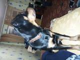 Собаки, щенята Ротвейлер, ціна 4200 Грн., Фото